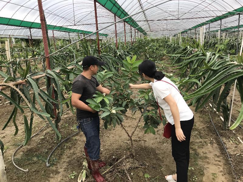 清流:气象服务助力火龙果增产丰收