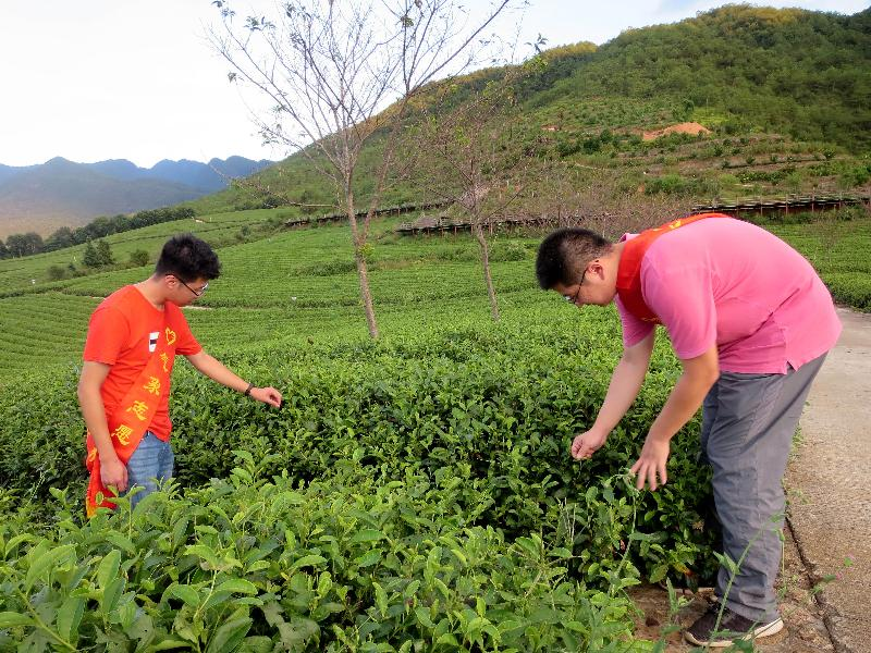 清流:气象服务为茶叶产业保驾护航