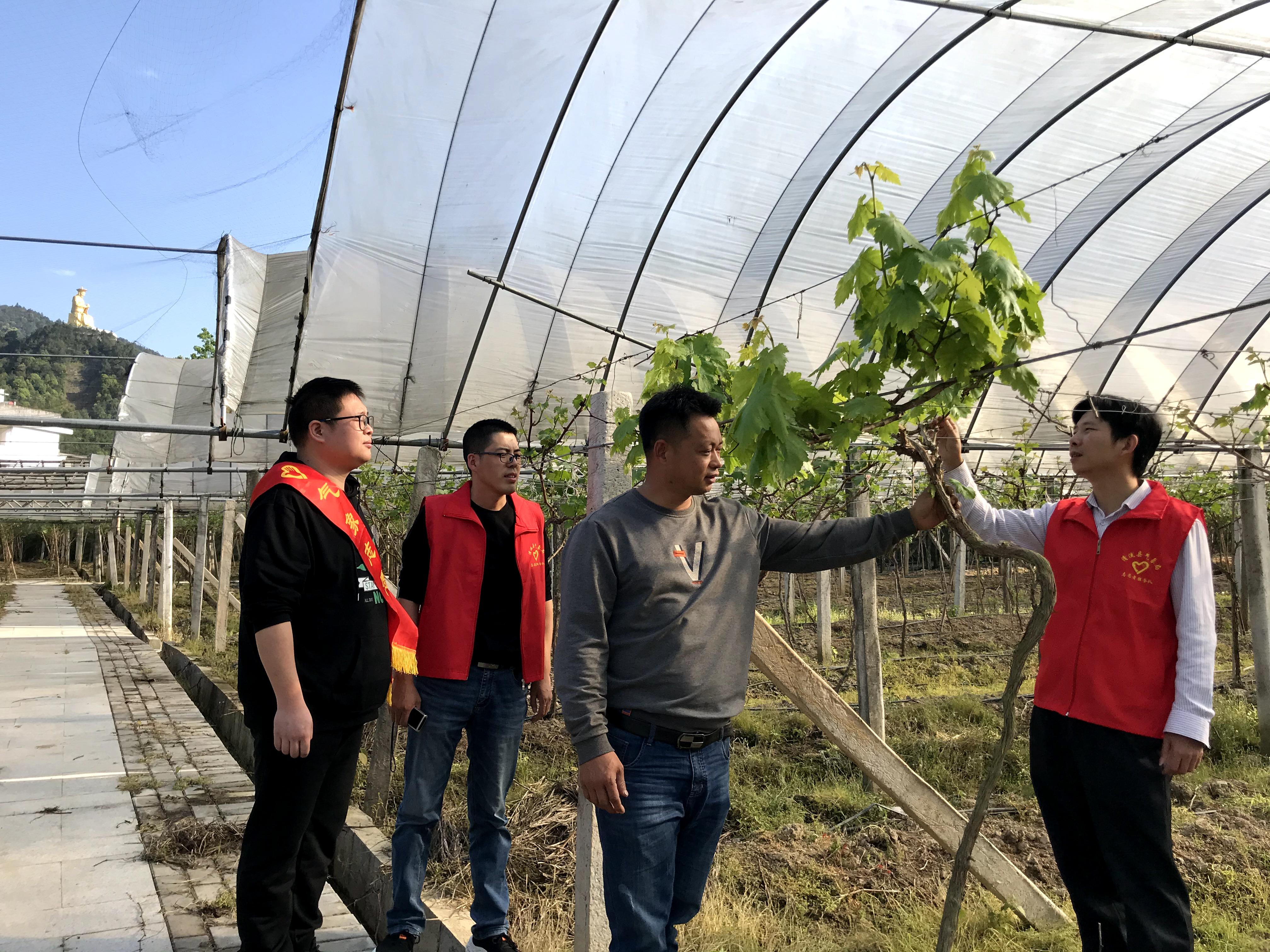 清流:气象为台创园葡萄提供品质保证