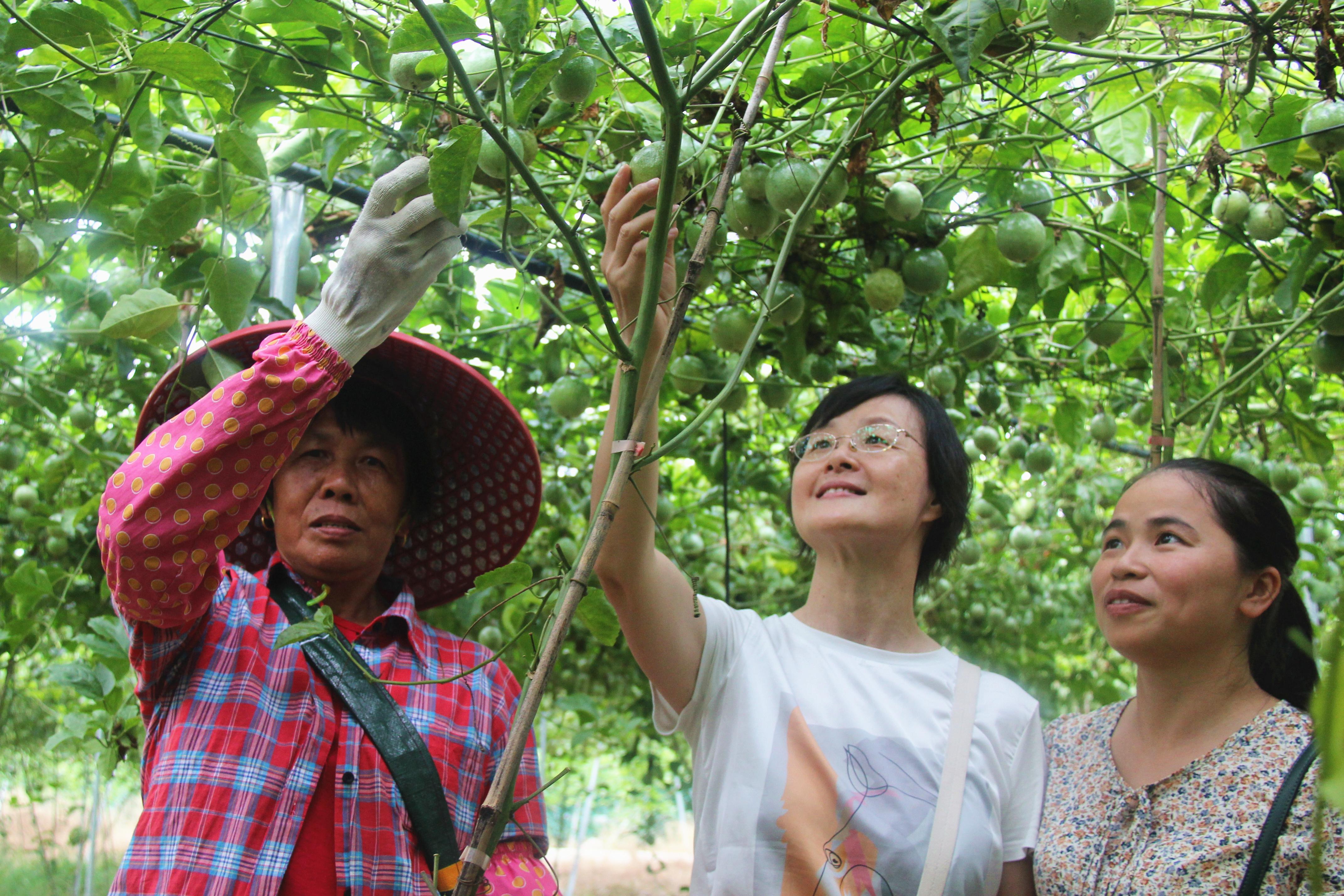 """""""瓜果香""""里说丰年 ——福建省气象部门热带水果产业服务侧记"""